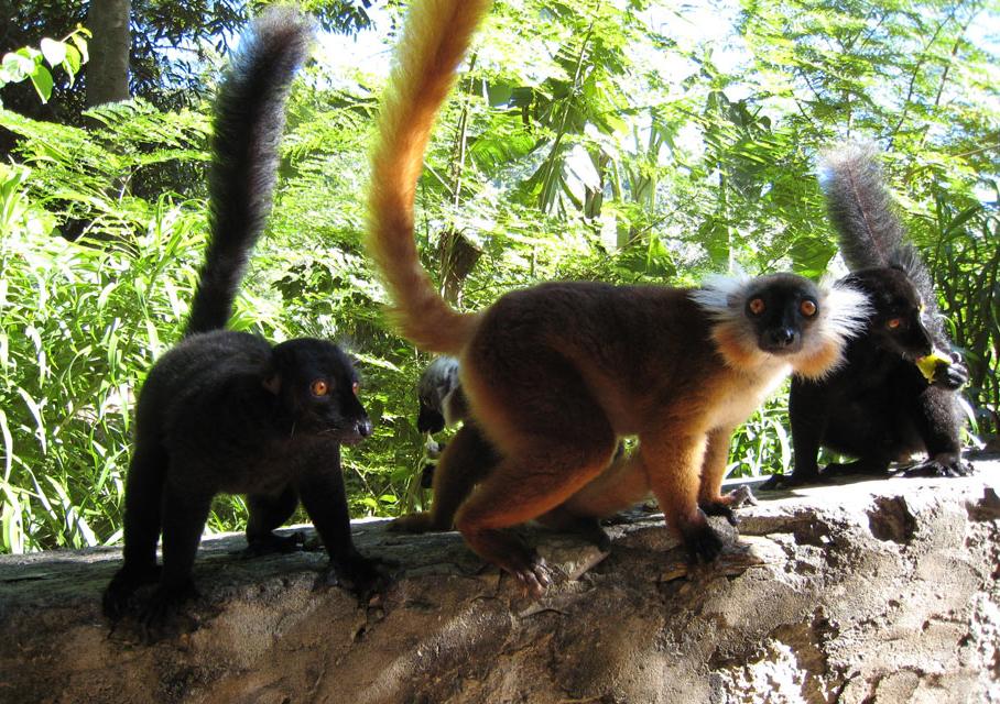 Lemuri Macaco - Nosy Komba, Madagascar